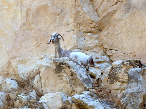 A goat in the gorge