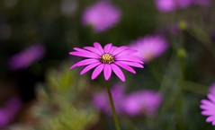 pink (jonoakley) Tags: pink wallpaper plants plant flower colour up field dof close purple bright background depth