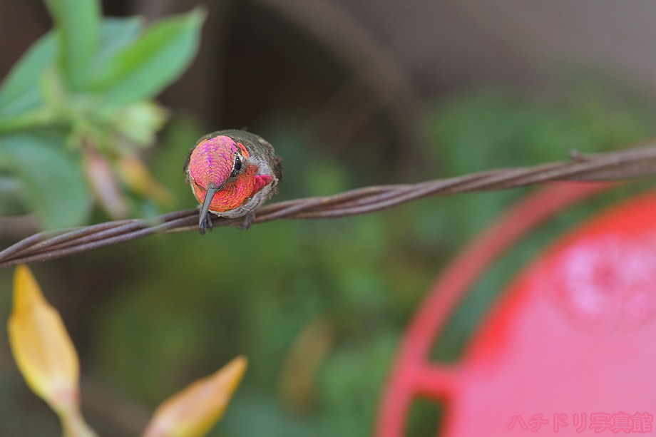 Anna's Hummingbird 080711