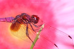 Colorful Dragon Fly....... (aroon_kalandy) Tags: light india macro lights dragonfly sony kerala greatshot impressions tamron majestic calicut kozhikode tamronspaf90mmf28dimacro aroonkalandy stunningphotogpin best4gpin bestphoto4gpinsep2011 kenkoet20mm