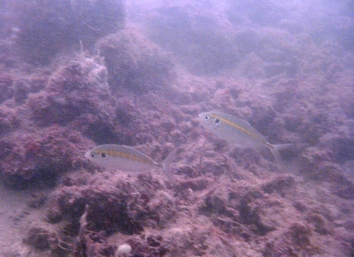 Yellowstripe Scad or Kuning
