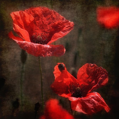 Poppies by pusiga