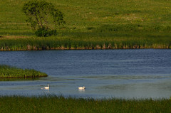 Swans and Tree DSC_9282 by Mully410 * Images