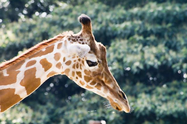 TOBU ZOO giraffe