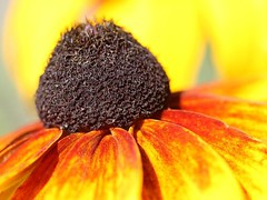 Black-Eyed Susan (donsutherland1) Tags: summer ny newyork flower blossom july bloom blackeyedsusan larchmont natureplus flickraward flowersarebeautiful awesomeblossoms mygearandme
