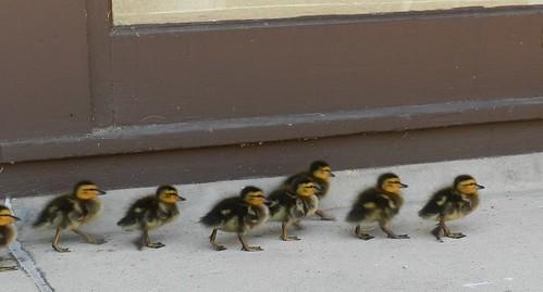 baby ducks3