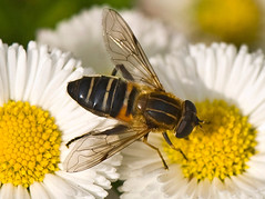 Striped Flower Fly On Fleabane, Eristalis cerealis (aeschylus18917) Tags: pink flowers flower macro nature yellow japan season insect fly weed nikon seasons  nikkor  hoverfly syrphidae diptera 105mm insecta fleabane 105mmf28 erigeronphiladelphicus eristalis pterygota flowerfly beemimic syrphidfly  neoptera endopterygota eristalinae  philadelphiafleabane 105mmf28gvrmicro eristalini d700 nikkor105mmf28gvrmicro  eristaliscerealis danielruyle aeschylus18917 danruyle druyle    stripedflowerfly