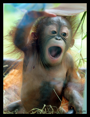 OMG, there's a baby orangutan!
