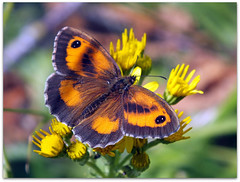 Gatekeeper on yellow! (macfudge1UK) Tags: uk summer england plant fauna butterfly bug insect europe ngc lakeside lepidoptera bloom oxfordshire gatekeeper oxon hs20 2011 pyroniatithonus seneciojacobaea stantonharcourt allrightsreserved commonragwort countryfile anawesomeshot natureselegantshots naturethroughthelens 100commentgroup thebestofmimamorsgroups akahedgebrown newgoldenseal bbcnatureuksummerwatch hs20exr fujifilmfinepixhs20exr fujihs20exr fujifilmhs20