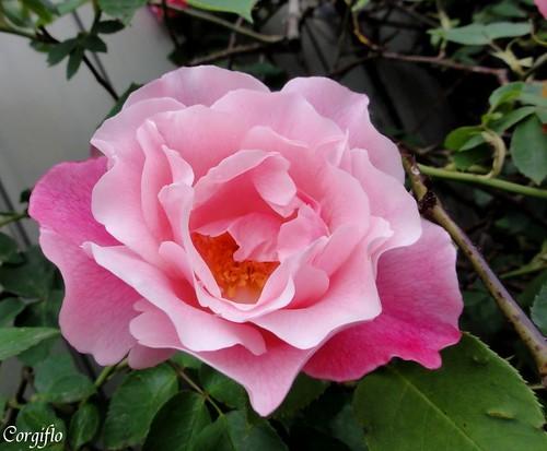 blog-110711-ROSE-1