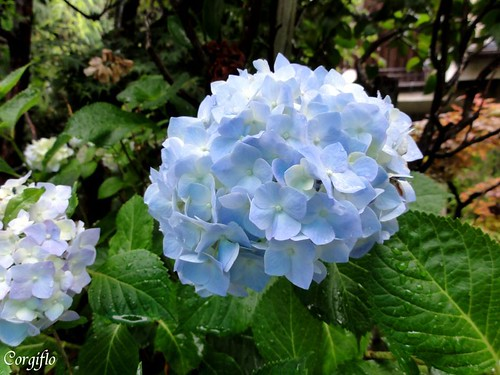 blog-110712-HORTENSIAS-1