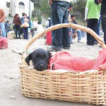 "Puppy in a Basket! <a style=""margin-left:10px; font-size:0.8em;"" href=""http://www.flickr.com/photos/14315427@N00/5928232540/"" target=""_blank"">@flickr</a>"