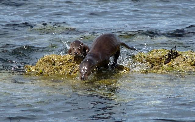 24531 - Otter, Langamull, Isle of Mull