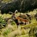 O raro Walia Ibex