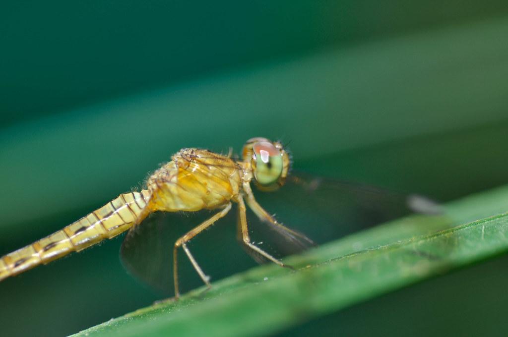 Portrait of a Dragonfly 蜻蜓肖像 ...