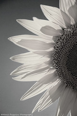 Give me back the sun (Marco Pasquino) Tags: travel flowers sunset summer italy holiday flower nature canon photo spring italia photos sunflower girasoli wow1 wow2 wow3 wow4