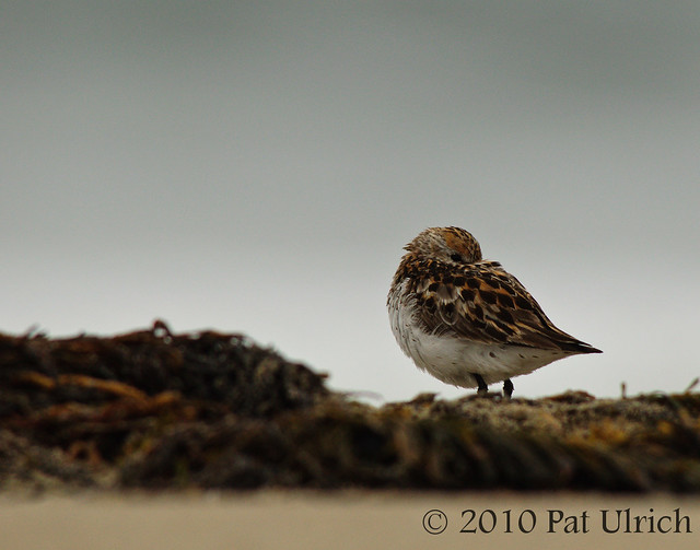 Western sandpiper in Point Reyes - Pat Ulrich Wildlife Photography