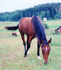 Whizzo Whizkid (smerikal) Tags: horse mare pasture hevonen standardbred tamma lmminverinen