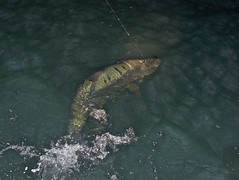 RIO Tarpon at night 4