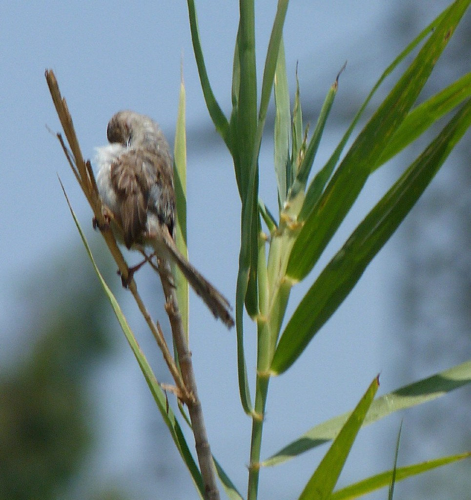 16-07-2011-graceful-prinia2)