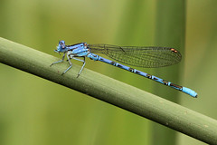 """Blue Bamboo"" Vivid Dancer at Dierkes Lake Park in Twin Falls ID 07Jul2011 (frosty_white_raven) Tags: usa lake green grass bug insect pond bokeh id dancer idaho 300mm twinfalls perch damselfly wetland arthropod canoncamera 420mm odonate orderodonata dierkeslake vividdancer argiavivida 60d canonef300mmf4lisusm canon60d suborderzygoptera familycoenagrionidae canonef14xiiextender canoneos60d dierkeslakepark genusargia"
