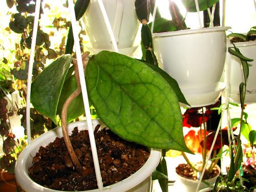 Hoya meredethii