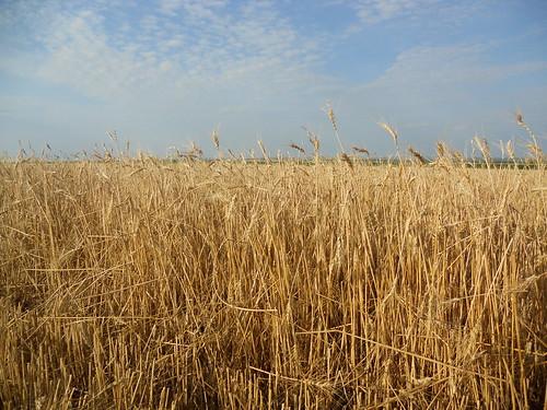 Hailed wheat