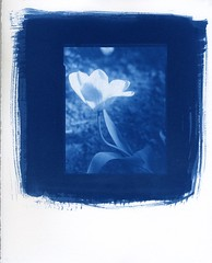 Tulip in Cyanotype (akki14) Tags: tulip cyanotype