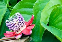 Passion Fruit flower 2 (SJNeto) Tags: flowers flower planta rose brasil fruit papaya rosa fruta sp passion folha flr orqudea maracuj mamo flres botes paulinia