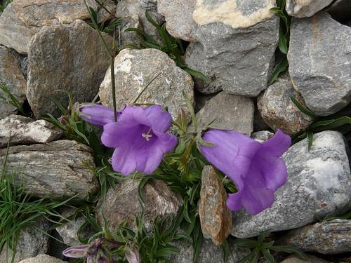 Campanule alpestre=Campanula alpestris - Mt Cenis 015