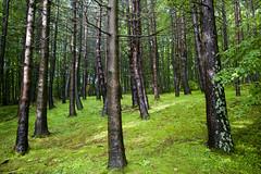 Bosco bagnato in primavera (paolo-bertani) Tags: wood rain 1785 pioggia bosco