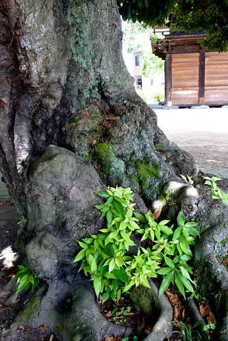 α7 Giant Evergreen Oak of Takao Shrine