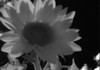 Sunflowers Infrared Pinhole 850nm - N(2)