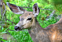 An Encounter in the Woods (Jeff Clow) Tags: woods bravo wildlife deer muledeer grandtetonnationalpark jacksonholewyoming signalmountainlodge flickrdiamond dcptjuly2011