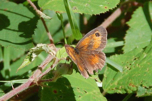 butterfly gatekeeper