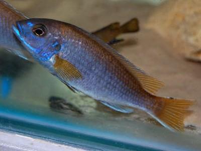 Pseudotropheus sp. 'acei' Kambiri Point
