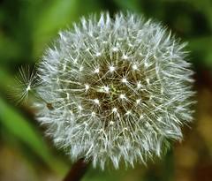 Leaving Home (Smirfman) Tags: uk nature weed sony kitlens devon alpha dandilion paignton a550