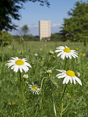 New Meadow at Bellahouston Park (Cath Scott) Tags: park wild white flower nature court scotland glasgow wildlife meadow annual bellahouston mayweed qpcc dumbreck inodorum scentlesstriplospermum