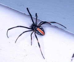 "A tiny, juvenile but still venomous redback spider • <a style=""font-size:0.8em;"" href=""http://www.flickr.com/photos/44919156@N00/5983869165/"" target=""_blank"">View on Flickr</a>"