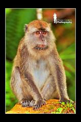 Macaque (Ringgo Gomez) Tags: 1001nights soe 80200mm nikon80200mm bigfav kfk kenkopro300 anawesomeshot nikond90 unforgettablepictures concordians perfectphotographer sarawakborneo nikond90club 1001nightsmagiccity goldpawaward