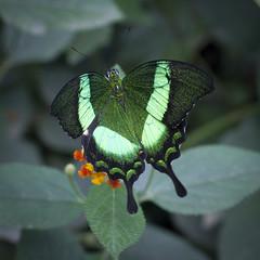 Butterfly / Vlinder (siebe ) Tags: wedding holland love netherlands dutch butterfly nederland liefde vlinder trouwen vlindertuin trouwfoto