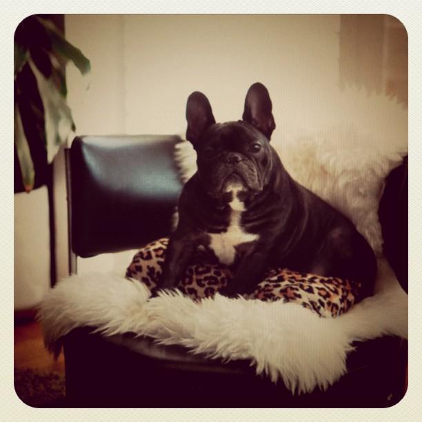 Happy Saturday! #frenchbulldog #frenchie