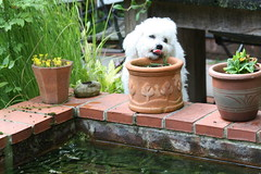 Redhill Garden - July 2011 - Just Giving Them a Lick Dad (Gareth1953 All Right Now) Tags: dog flower cute tongue garden table pond pot button bichon frise slate leafs licking brickwork canoneos450d