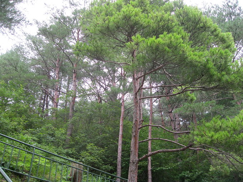 Golden Pine Trees and Radiation Exposure
