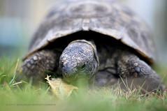 Soooooo Slooooow :( (JayBeee2) Tags: pet nature grass slow tortoise