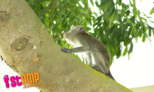 Monkey spotted at Choa Chu Kang Ave 3