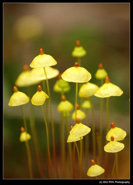 Fairy Parasol (Coprinus plicatilis)