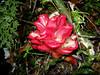 Flower at Mount Isarog (Bram Demeulemeester - Birdguiding Philippines) Tags: mountain flower forest philippines luzon mountisarog bramdemeulemeester birdguidingphilippines birdingtoursphilippines