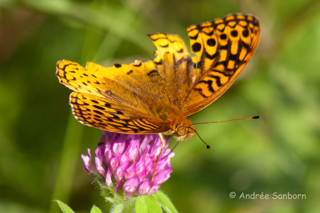 Great Spangled Fritillary on Red Clover (Speyeria cybele)-5.jpg
