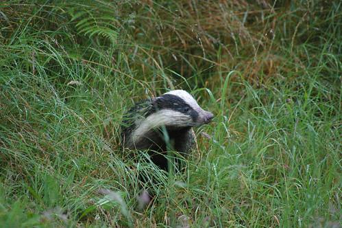 Badger 3